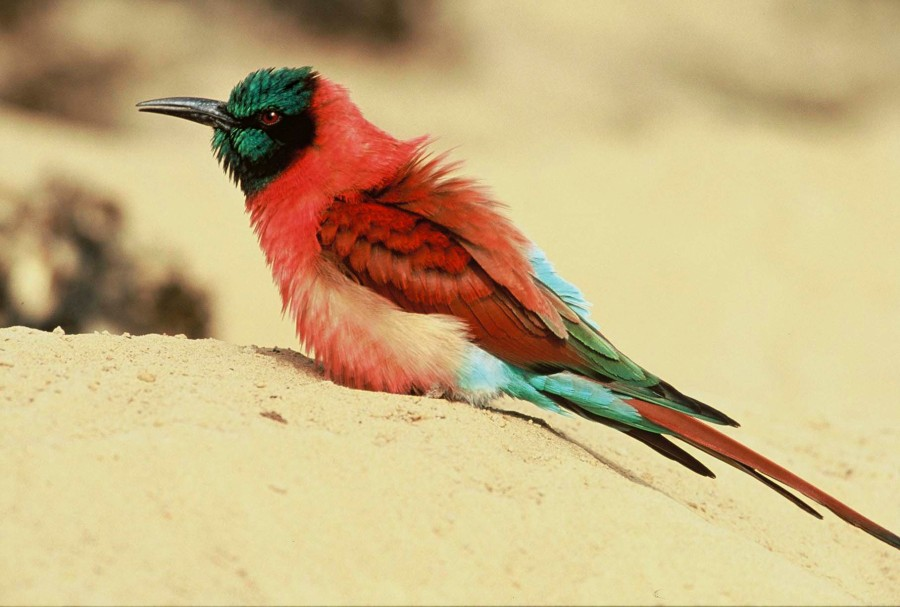 Nothern Carmine Bee-eater