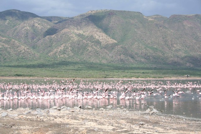 Flamingos in Lake Bogoria