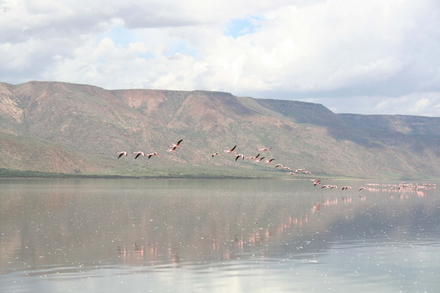 Flamingos in Flight Lake Bogoria