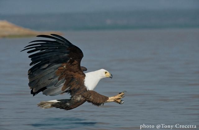 African Fish Eagle Lake Baringo