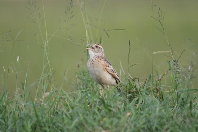 Rufous-naped lark