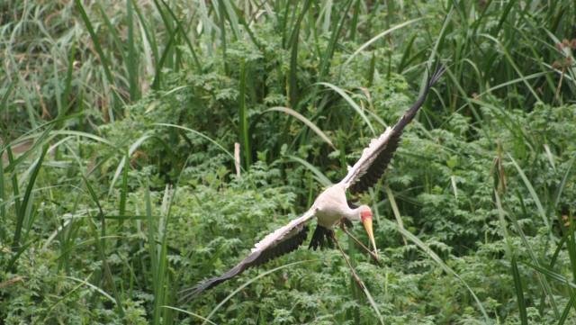 Yellow-billed stork landing