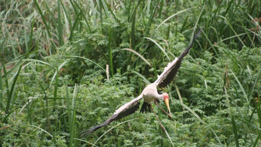 Yellow-billed stork landing