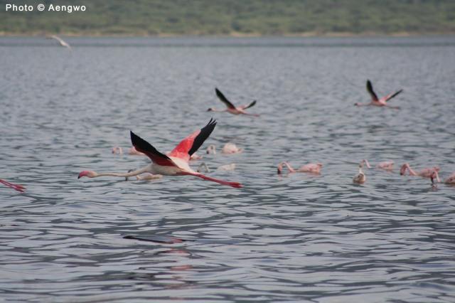 Greater Flamingo, Lake Bogoria