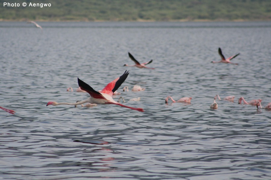 Greater Flamingo, Lake Bogoria