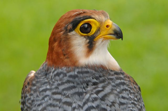 March 11, 2012: Red-Necked Falcon (Falco chicquera)