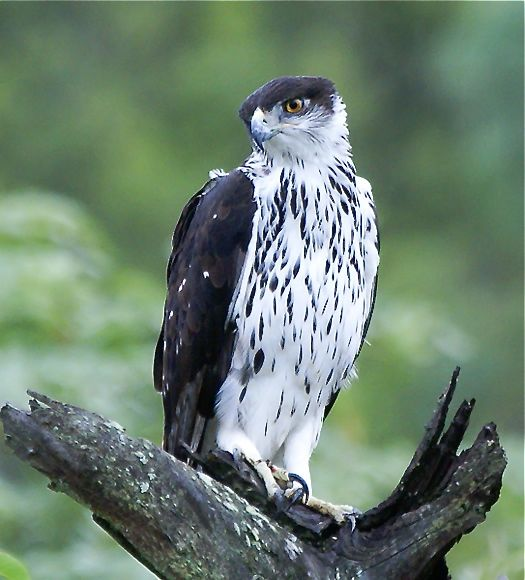 African Hawk Eagle (Hieraaetus spilogaster)