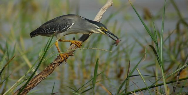 Green-backed Heron (Butorides striatus atricapillus)