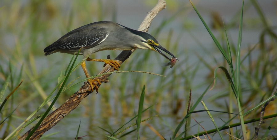 Green-backed Heron (Butorides striatus atricapillus)
