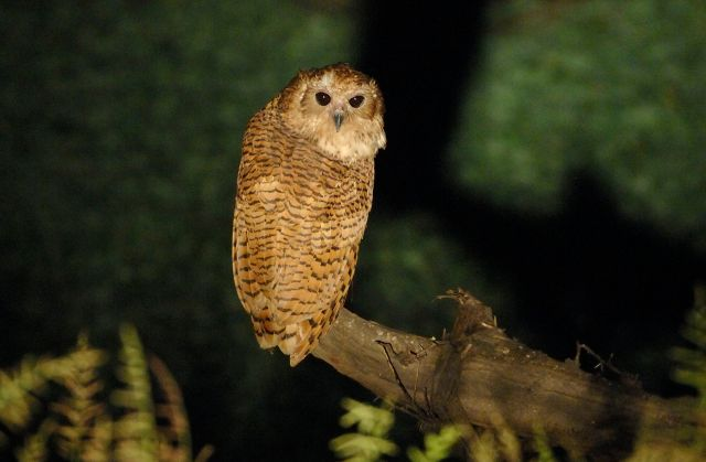 Pel's Fishing-Owl (Scotopelia peli)