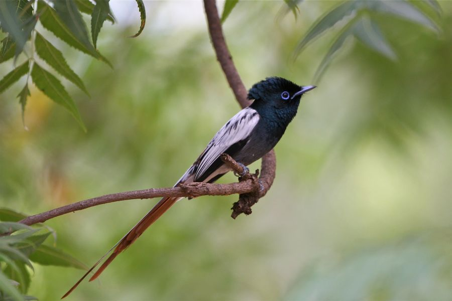 African Paradise-flycatcher (Terpsiphone virisidis)