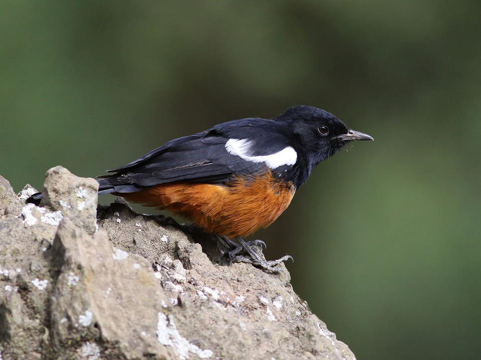 Cliff Chat (Thamnolaea cinnamomeiventris subrufipennis)