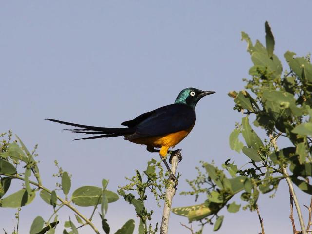 Ray Golden-breasted Starling