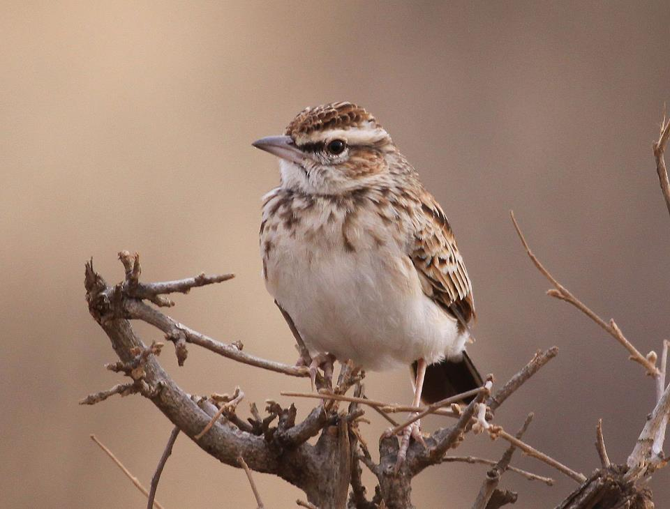 Ray Fawn-coloured Lark