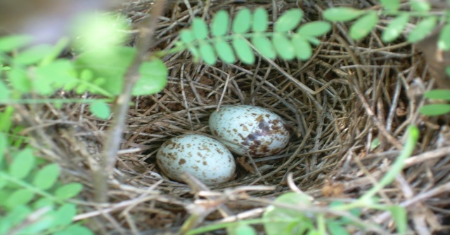 The Eggs of White-browed Scrub Robin