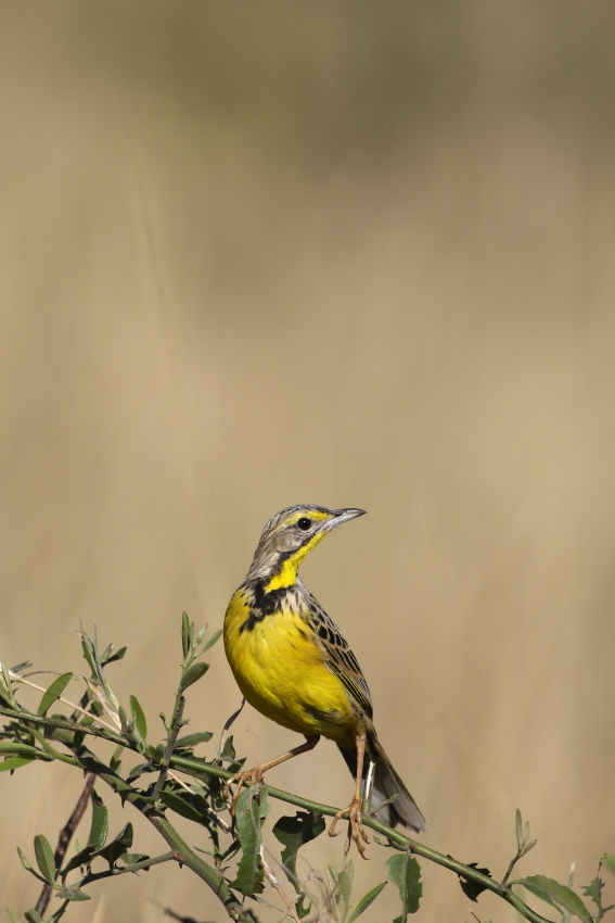 Yellow-throated Longclaw (Macronyx croceus)