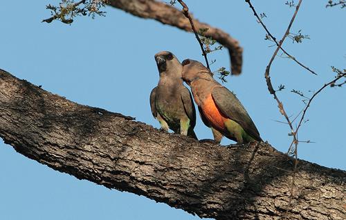 African Orange-bellied Parrot (Poicephalus rufiventris )