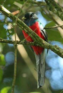 Bar-Tialed Trogon (Apaloderma vittatum)