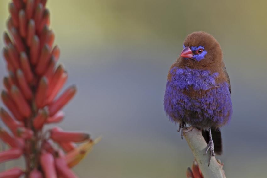 Purple Grenadier (Uraeginthus ianthinogaster)