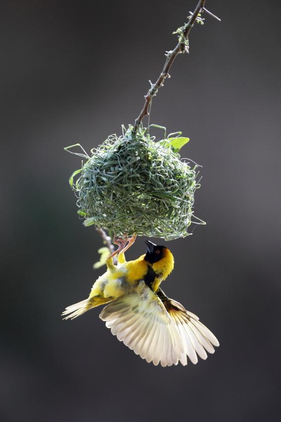 Vitelline Masked Weaver ( Ploceus vitellinus)