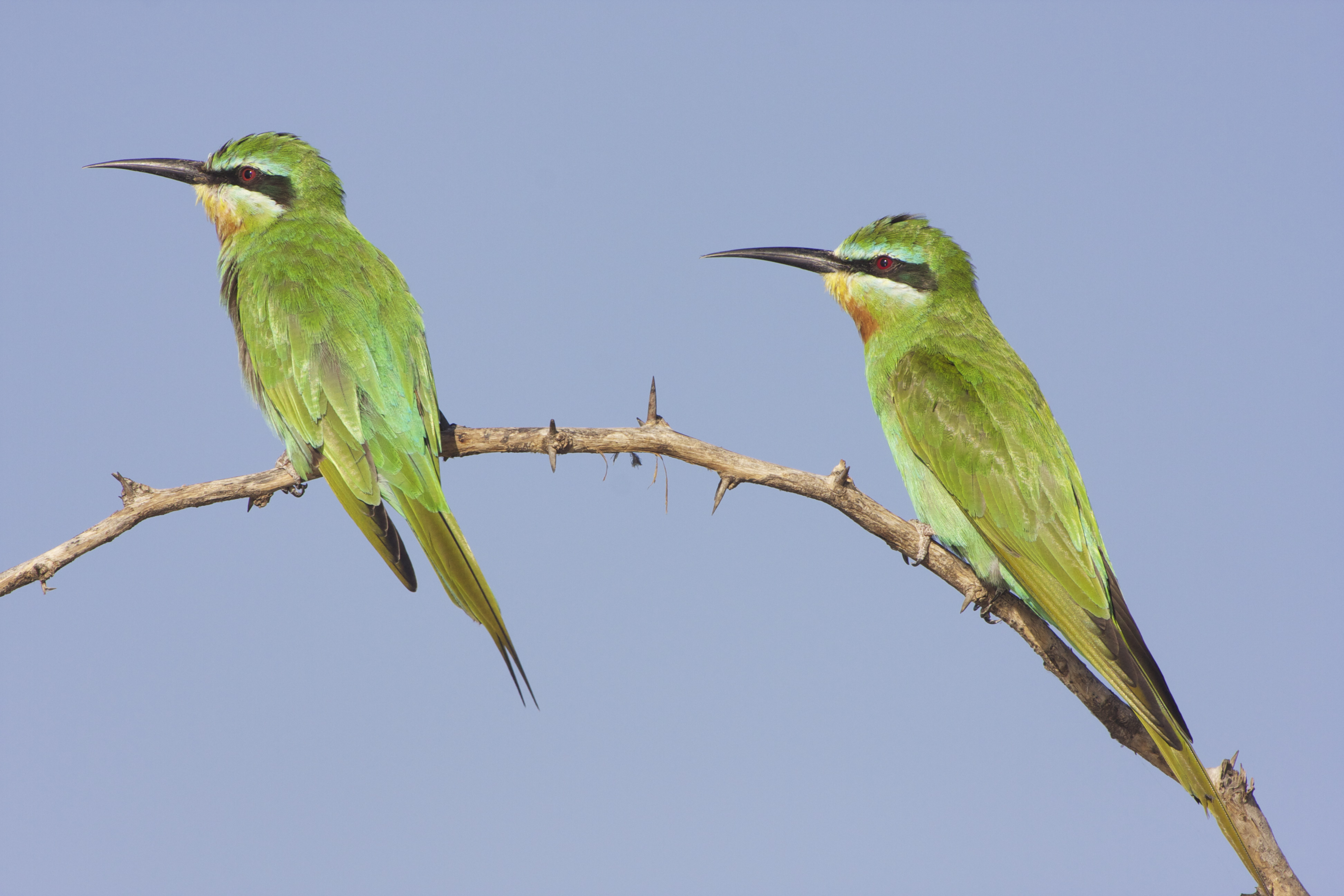 Blue-cheeked Bee-Eater (Merops p. persicus)