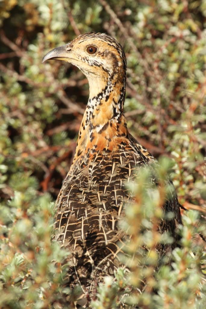 Moorland Francolin (Francolinus psilolaemus)