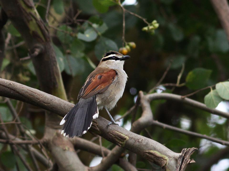 Brown-crowned Tchagra (Tchagra australis