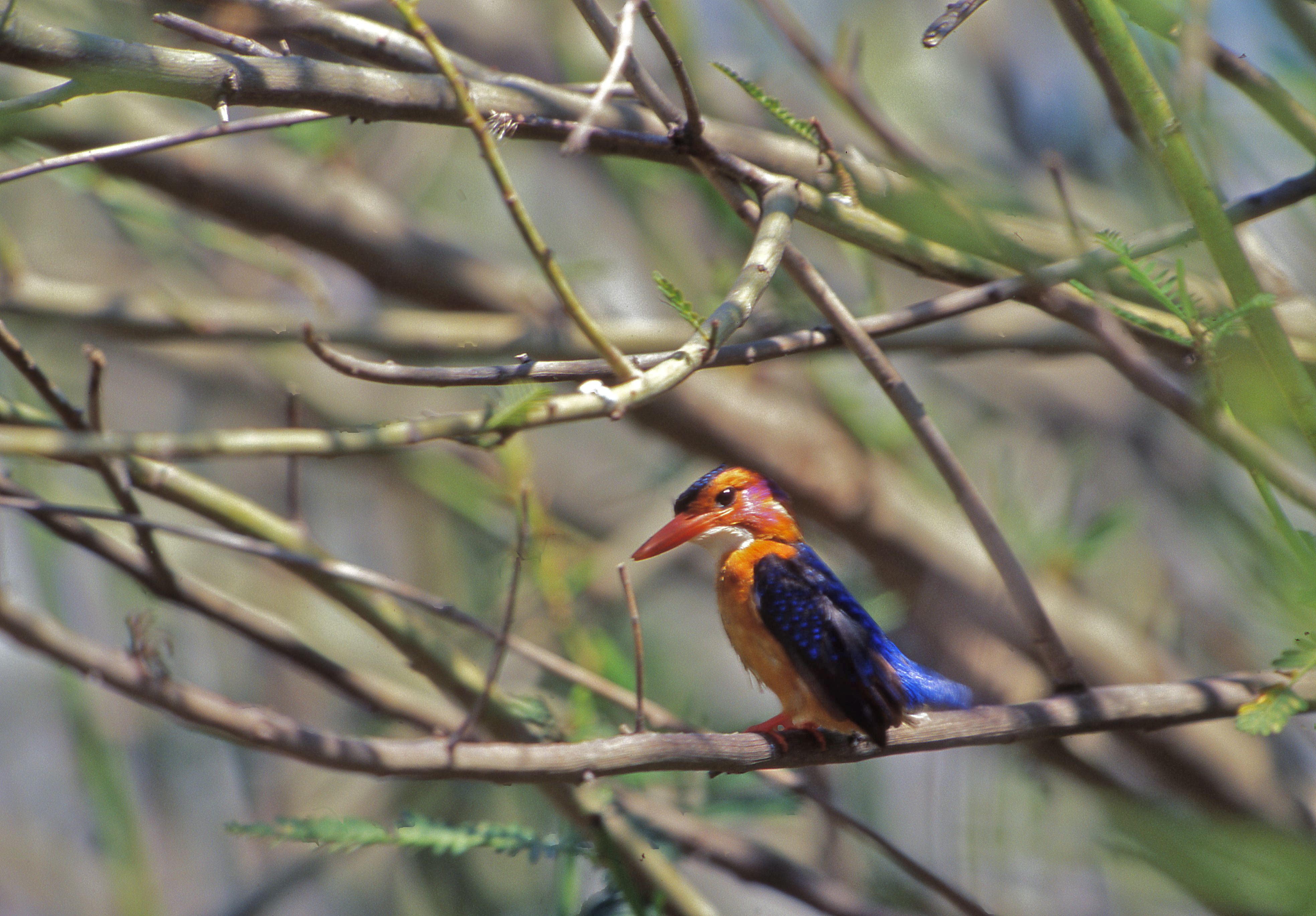 African Pygmy Kingfisher (Ispidina picta)