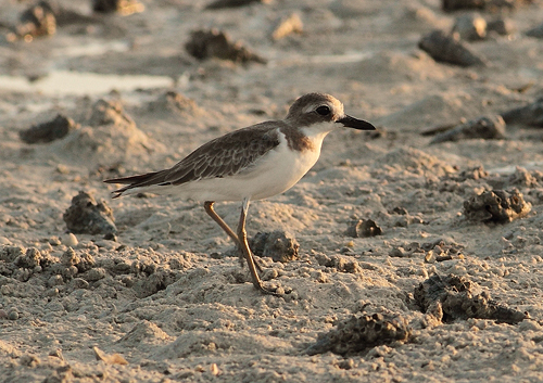Greater Sand Plover (Charadrius leschenaultii