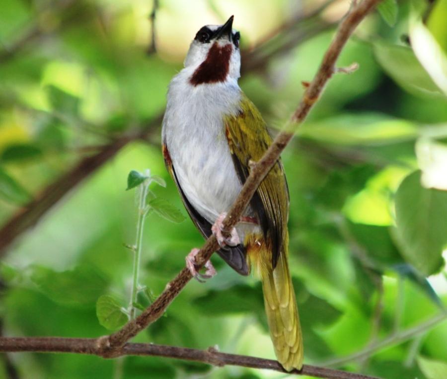 Grey-capped Warbler ( Eminia lepida)