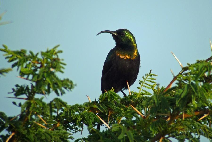 Bronzy Sunbird (Nectarinia kilimensis)