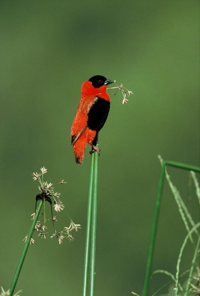 Northern Red Bishop (Euplectes franciscanus)