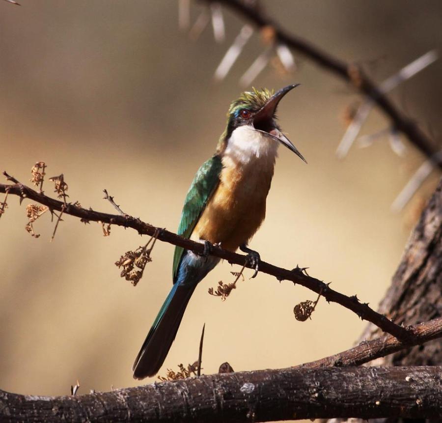 Ray Somali Bee-eater