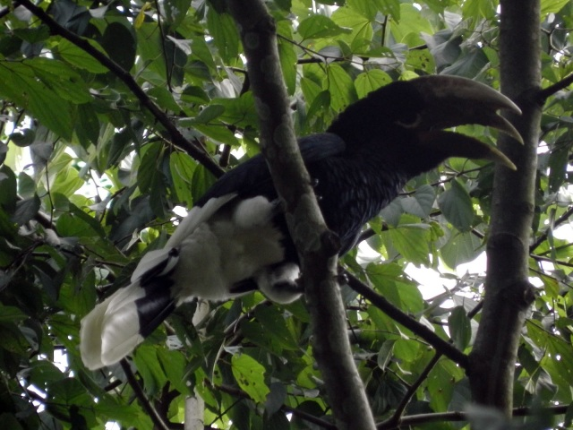 ffa9f-black-and-white2bcasqued2bhornbill