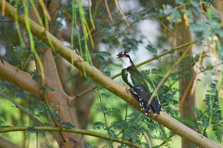 Diederic Cuckoo