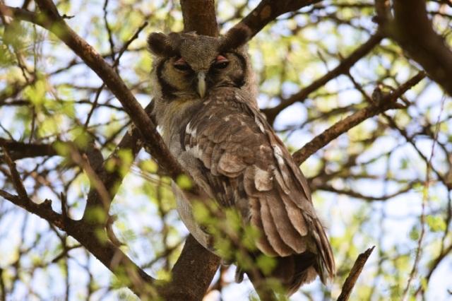 Verreaux Eagle Owl