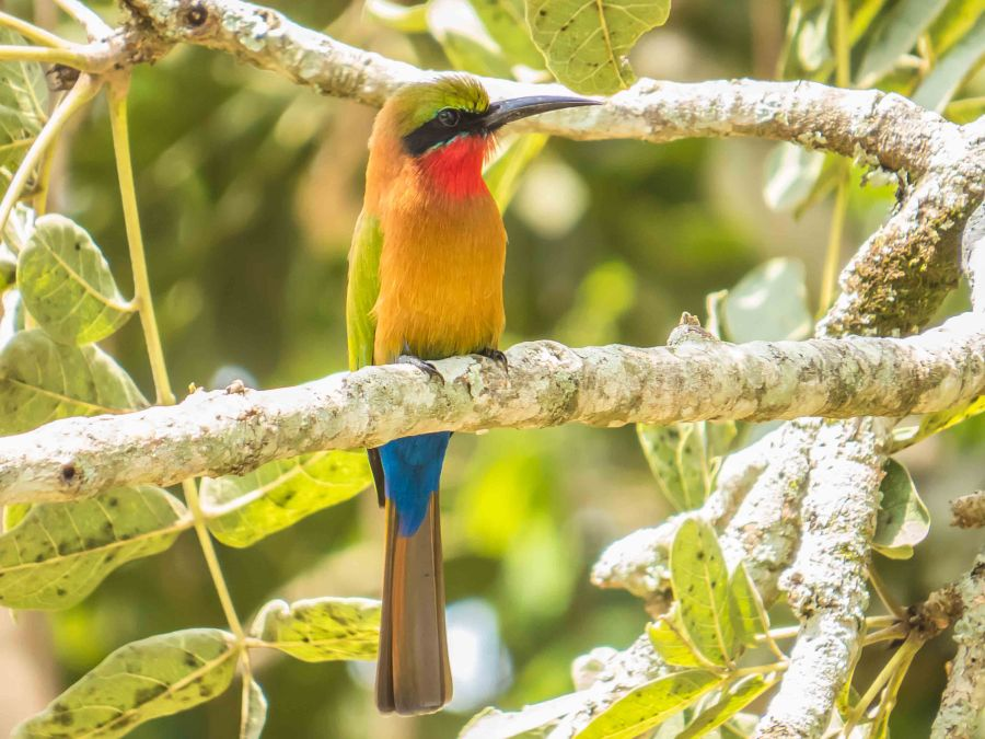 SX50 39112 Red-throated Bee-eater