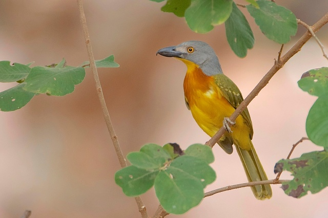 Grey-headed Bush-shrike.