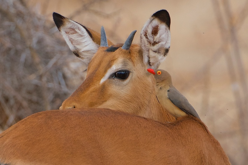Red-billed Oxpecker.Buphagus erythrorhynchus.