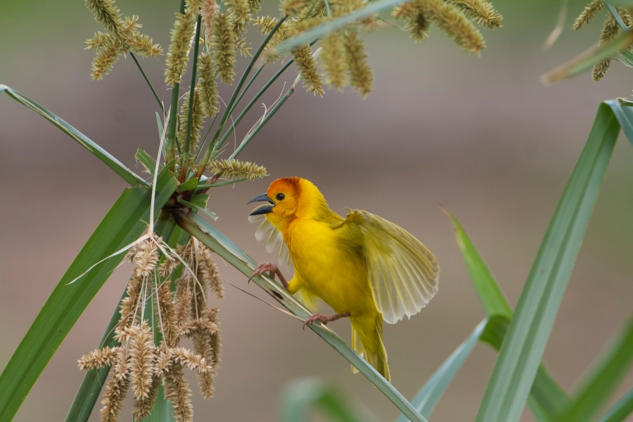 Taveta Golden Weaver,Ploceus castaneicepsZiwani-swamp.