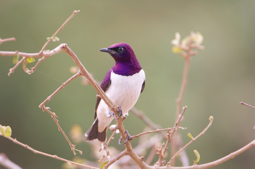 Violet-backed Starling.Maanzoni.
