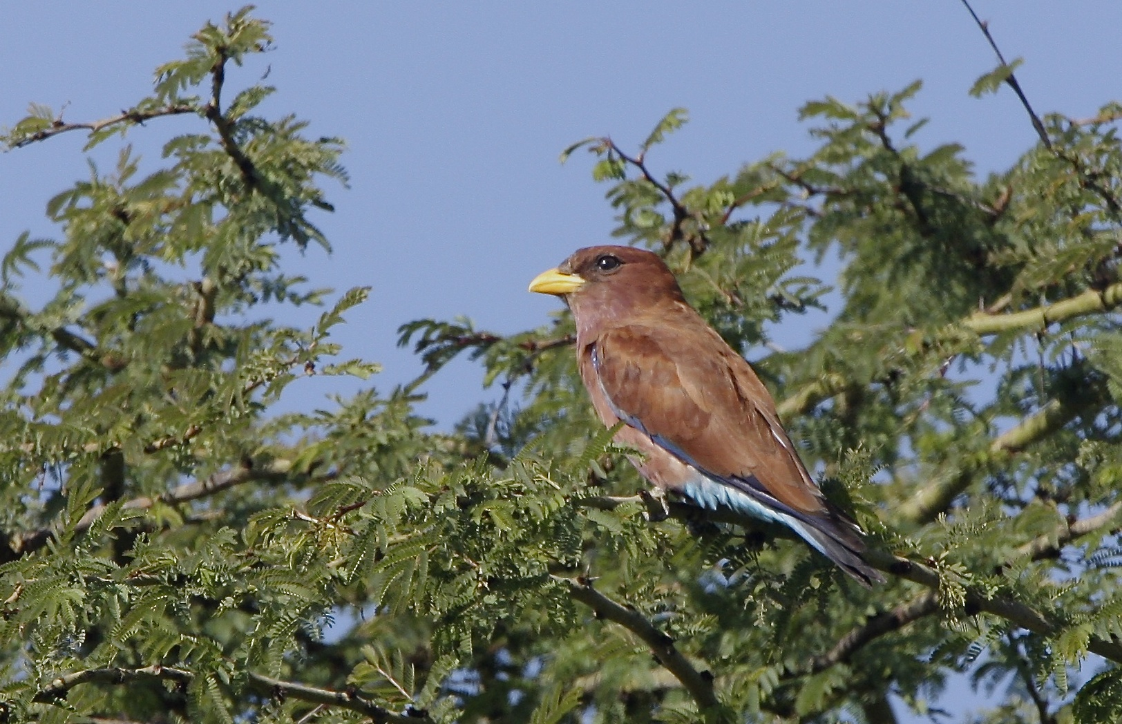 Broad-billed Roller , Eurystomus glaucurus .